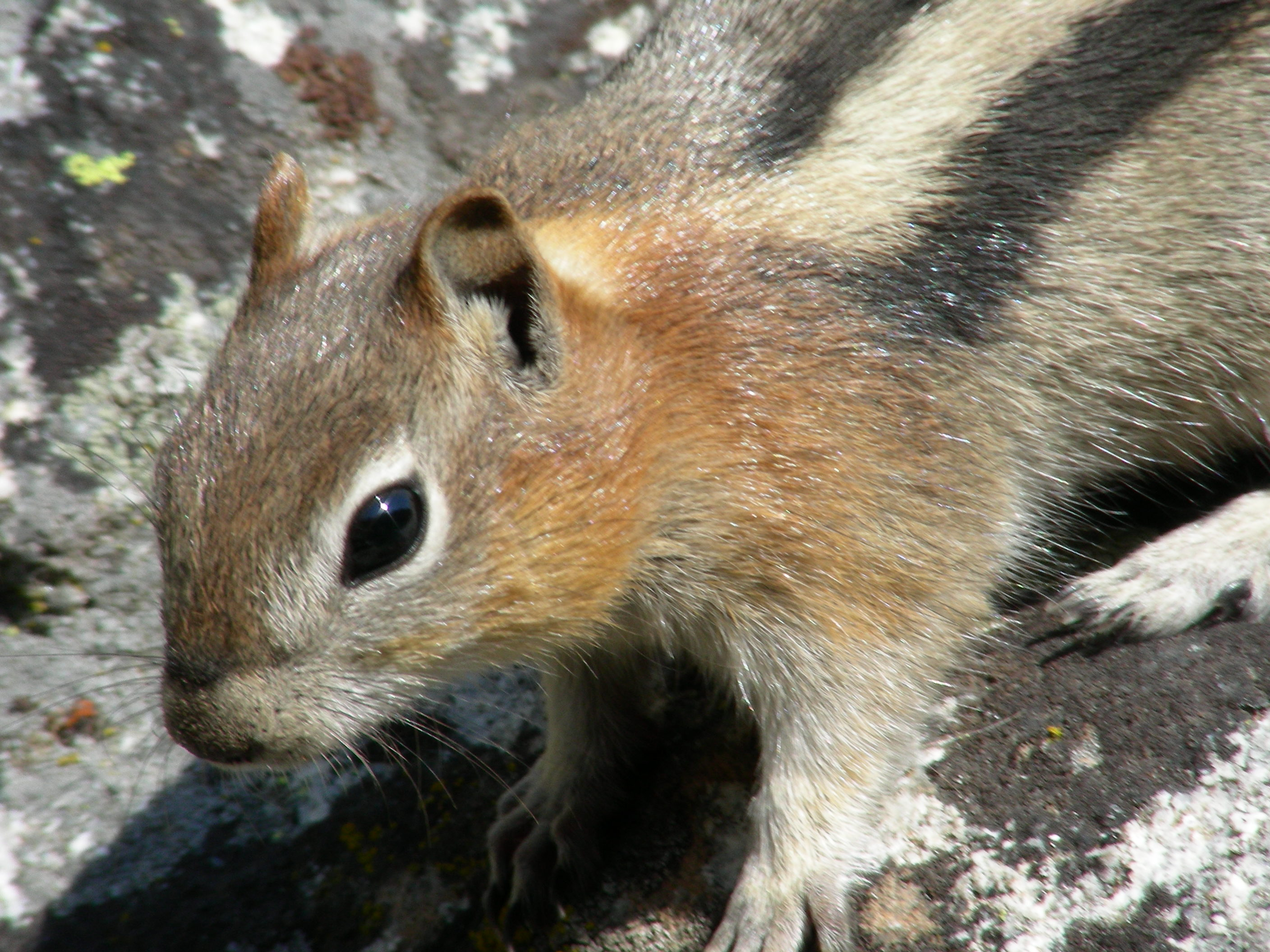 grand teton chipmunk